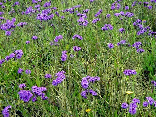 In Some Parts It Is A D Nuisance Because Chokes Out Gr Pastures And The Plant Called Patterson S Curse But Drier Climates Where